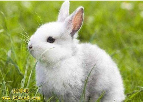 兔子吃什么草